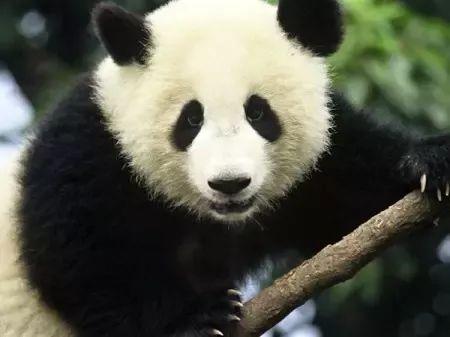 了解一下可爱的大熊猫吧