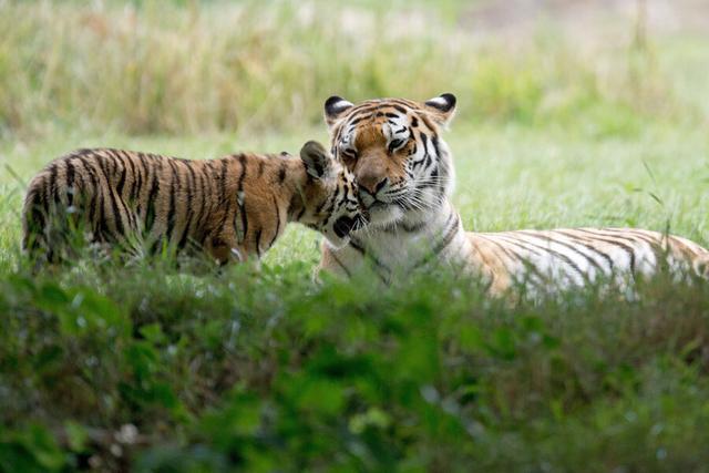 动物园为她20日龄宝宝做清洁,新生儿的诞生标志着长颈鹿数量的增加.
