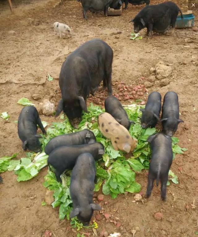 园子里还养着两只活泼可爱的小羊,一黑一白,只要有人靠近就凑过来