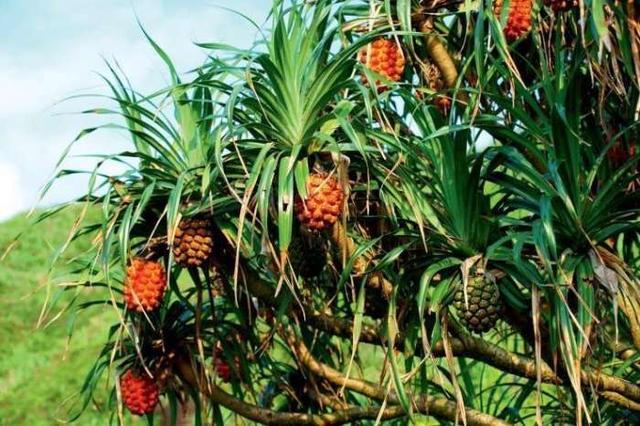 东南亚十大妖孽水果,每一种都是过口难忘的极品!
