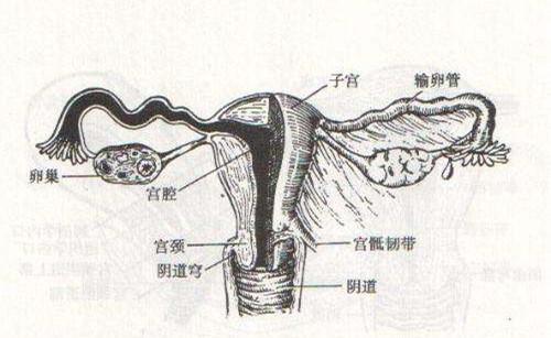 宫颈和子宫是怎样的形态,结构,彼此之间是怎么关联的,甚至有的患者